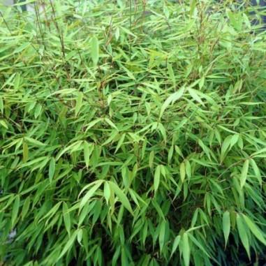 Bambou parapluie Rufa (Pot de 5 L 40/60) - N°1