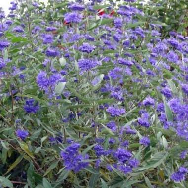 Barbe bleue Heavenly Blue (Pot de 10 L 30/40) - N°1