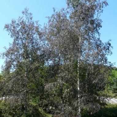 Bouleau à feuilles pourpres (Pot de 15 L 200/250) - N°1