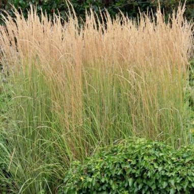 Calamagrostis Karl Foerster (Pot de 10 L Touffe) - N°1
