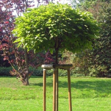 Catalpa boule (Pot de 15 L 1/2 Tige 8/10) - N°1