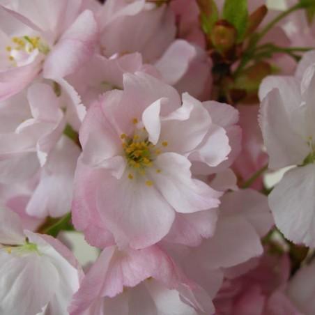 Cerisier à fleurs du Japon fastigié Amanogawa (Pot de 15 L 200/250) - N°2