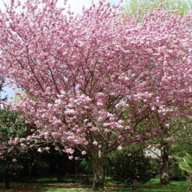 Cerisier à fleurs du Japon Kanzan (Pot de 10 L 1/2 Tige 6/8) - N°1