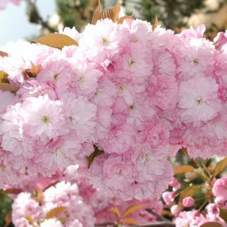 Cerisier à fleurs du Japon Kanzan (Pot de 10 L 1/2 Tige 6/8) - N°2