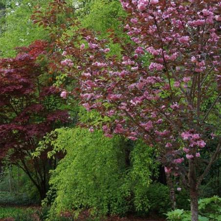 Cerisier à fleurs du Japon pourpre Royal Burgundy (Pot de 10 L 1/2 Tige 6/8) - N°1