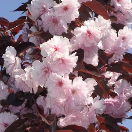 Cerisier à fleurs du Japon pourpre Royal Burgundy (Pot de 10 L 1/2 Tige 6/8) - N°2