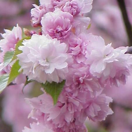 Cerisier à fleurs pleureur (Pot de 15 L 1/2 Tige 6/8) - N°2