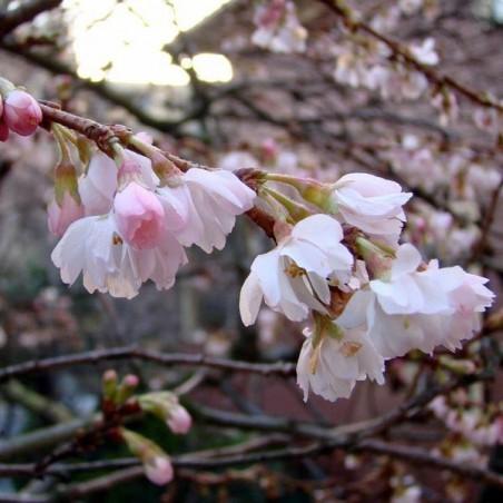 Cerisier àfleurs du Japon Autumnalis (Pot de 10 L 1/2 Tige 6/8) - N°2