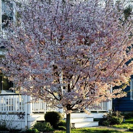 Cerisier àfleurs du Japon Autumnalis (Pot de 15 L 1/2 Tige 10/12) - N°1