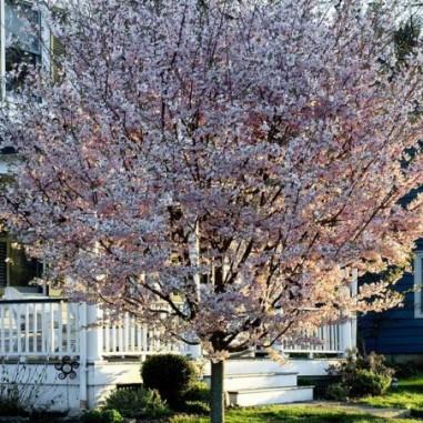 Cerisier àfleurs du Japon Autumnalis (Pot de 15 L 1/2 Tige 8/10) - N°1