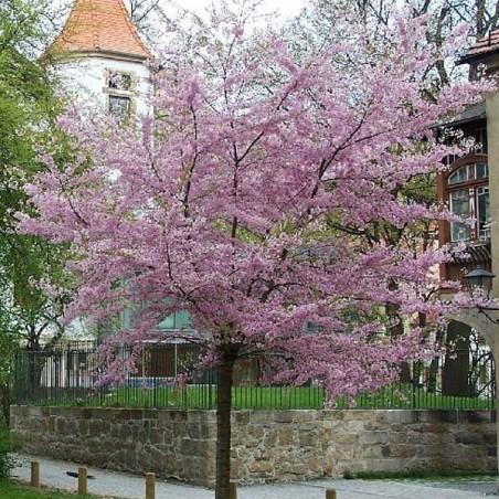 Cerisier àfleurs du Japon Autumnalis Rosea (Pot de 15 L 1/2 Tige 6/8) - N°1