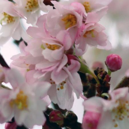 Cerisier àfleurs du Japon Autumnalis Rosea (Pot de 15 L 1/2 Tige 6/8) - N°2