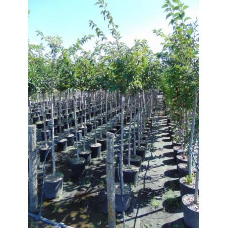 Cerisier àfleurs du Japon Autumnalis Rosea (Pot de 15 L 1/2 Tige 6/8) - N°7