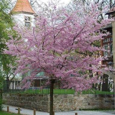 Cerisier àfleurs du Japon Autumnalis Rosea (Pot de 15 L 1/2 Tige 8/10) - N°1