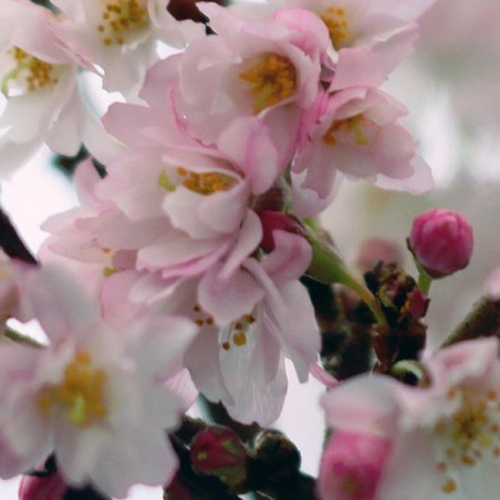 Cerisier àfleurs du Japon Autumnalis Rosea (Pot de 15 L 1/2 Tige 8/10) - N°2