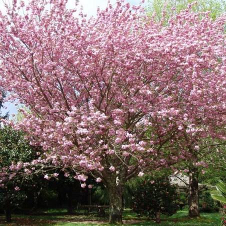 Cerisier àfleurs du Japon Kanzan (Pot de 15 L 1/2 Tige 8/10) - N°1