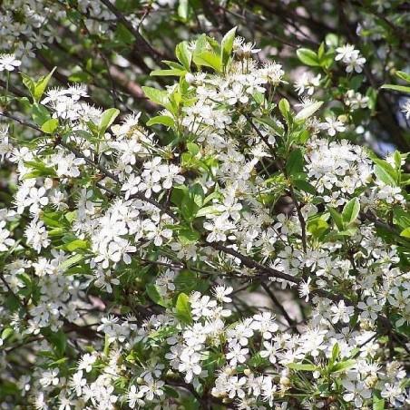 Cerisier du Japon Boule (Pot de 15 L 1/2 Tige 8/10) - N°2