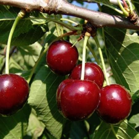 Cerisier Duroni n°3 (Pot de 10 L 1/2 Tige 6/8) - N°1