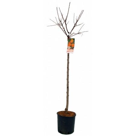 Abricotier Paviot (Pot de 10 L 1/2 Tige 6/8) - N°7
