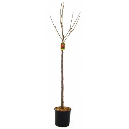 Cerisier Moreau (Pot de 10 L 1/2 Tige 6/8) - N°7