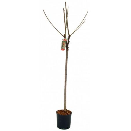 Cerisier Napoléon (Pot de 10 L 1/2 Tige 6/8) - N°7