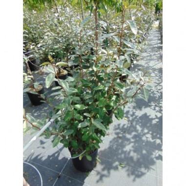 Acheter jasmin d 39 hiver pas cher au meilleur prix - Jasmin d hiver blanc ...