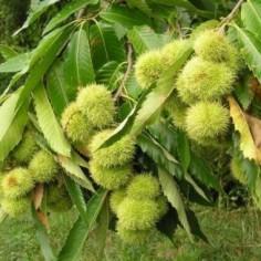 Vigne vierge Veitchii robusta