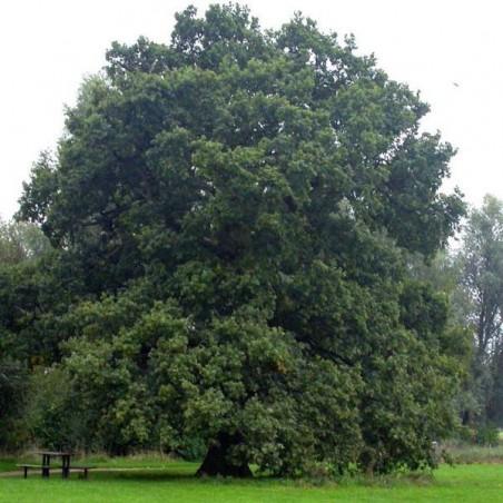 Chêne pédonculé (Pot de 15 L Bal 175/200) - N°1