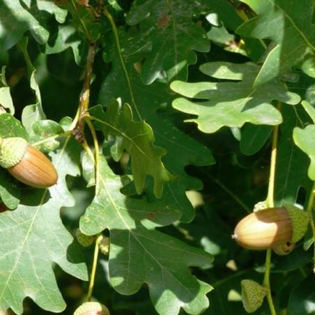 Chêne pédonculé (Pot de 15 L Bal 175/200) - N°2