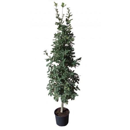 Chêne pédonculé (Pot de 15 L Bal 175/200) - N°7