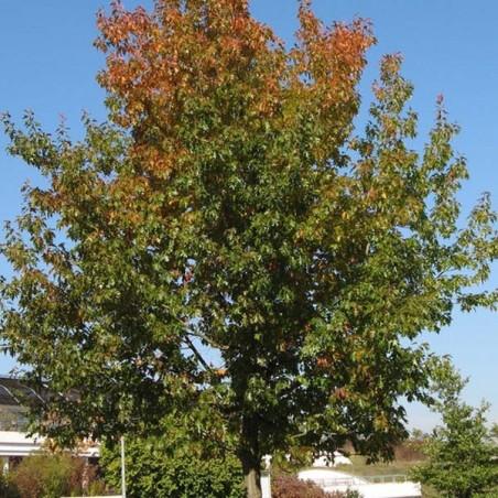 Chêne rouge d'Amérique (Pot de 15 L Bal B 200/250) - N°1