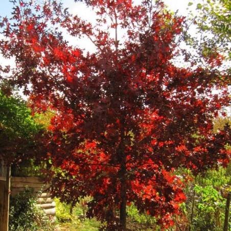 Chêne rouge d'Amérique (Pot de 15 L Bal B 200/250) - N°2