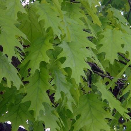 Chêne rouge d'Amérique (Pot de 15 L Bal B 200/250) - N°3