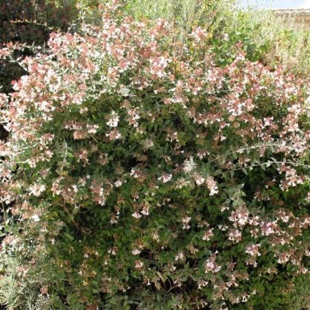 Abélie à grandes fleurs (Pot de 10 L 20/30) - N°2
