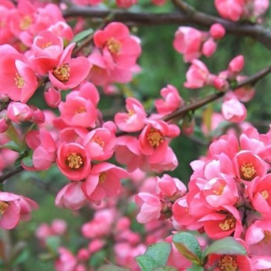 Cognassier du Japon Rose (Pot de 10 L 30/40) - N°1