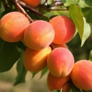 Abricotier Rouge du Roussillon (Pot de 10 L 1/2 Tige 6/8) - N°1