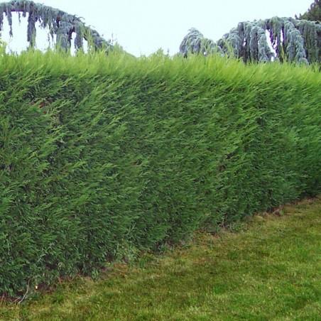 Cotoneaster de Franchet