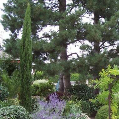 Laurier palme rotundifolia
