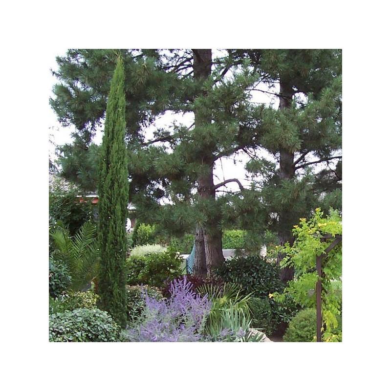 Acheter laurier palme rotundifolia pas cher au meilleur prix - Haie de laurier palme ...