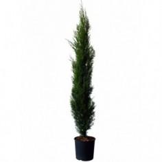 Acheter laurier prunus laurocerasus achat vente en for Achat en ligne de plantes