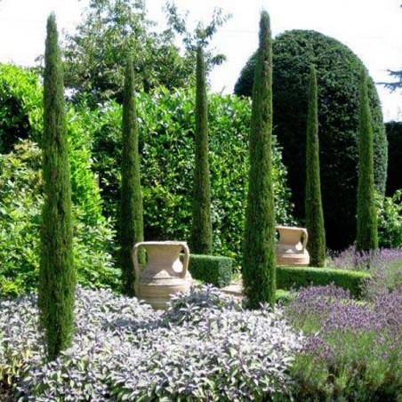 Cyprès de Provence Totem (Pot de 10 L 125/150) - N°1