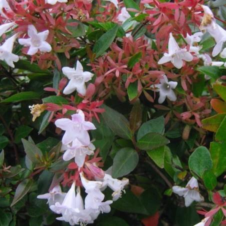 Abélie à grandes fleurs (Pot de 5 L 80/100 Tuteuré) - N°1
