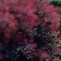 Amélanchier 'Lamarckii', fleurs