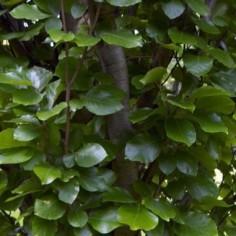 Faux cyprès pisifera filifera