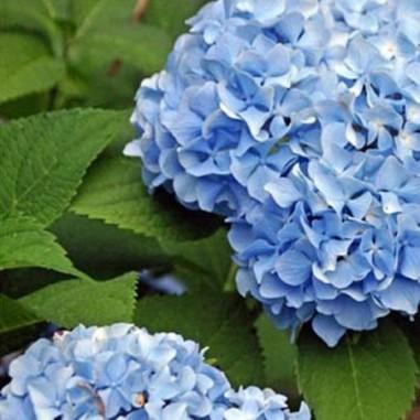 Hortensia à grandes fleurs bleu (Pot de 10 L 20/30) - N°1