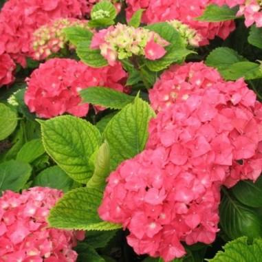 Hortensia à grandes fleurs rouge (Pot de 10 L 20/30) - N°1