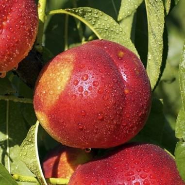 Nectarine Fairlane (Pot de 10 L 1/2 Tige 6/8) - N°1