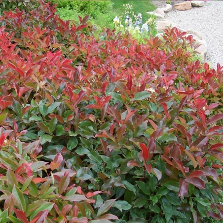 Photinia Red Robin (Pot de 10 L 100/125) - N°1