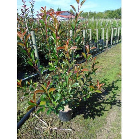 Photinia Red Robin (Pot de 10 L 100/125) - N°7