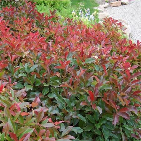 Photinia Red Robin (Pot de 10 L 80/100) - N°1